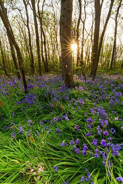 Boshyacinthes sur Texel au coucher du soleil sur Paul Weekers Fotografie