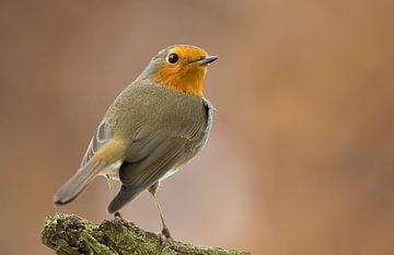 Robin von