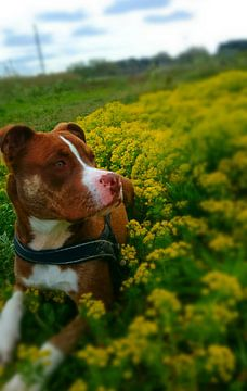 hond in bloemenveld van Chantal Koper