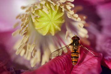 Eine Schwebfliege auf einer Mohnblüte von Ulrike Leone