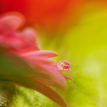 Tropfen auf rosa Blume von Jenco van Zalk