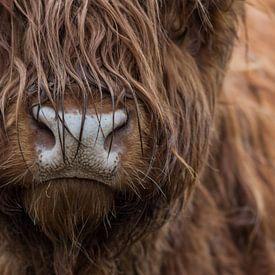 Schotse hooglander koe portret van Yvonne van Driel