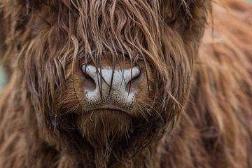 Schotse hooglander koe portret van