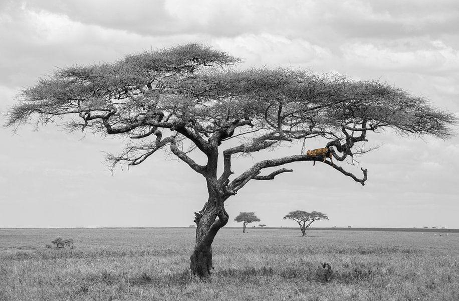 Luipaard in boom van Tom van de Water