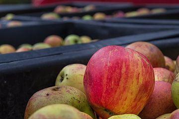 Apfelernte von