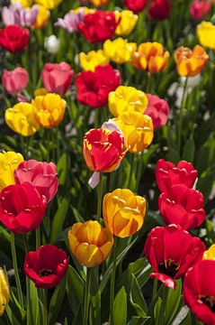 tulpen van Norbert Sülzner