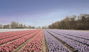 Holländische Tulpenfelder von Sanne Dost