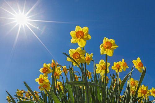 Narcissen in een bloembollenveld