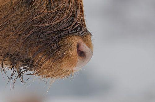 schotse hooglander close-up van Frank van Middelkoop