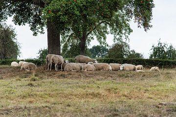 Schapen nabij Epen in Geuldal Zuid Limburg van Cilia Brandts