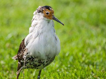 Kemphaan : Tierpark Blijdorp von Loek Lobel