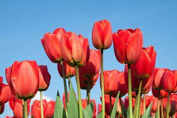 Zonnige rode tulpen van Monique Hassink