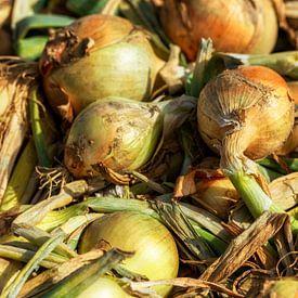Zwiebeln auf dem Feld von John Kreukniet