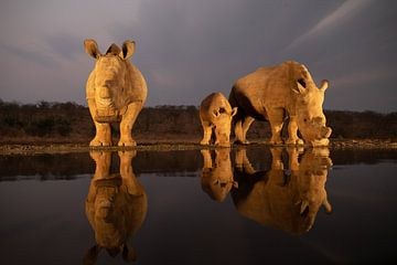 Une famille de rhinocéros arrive à la tombée de la nuit à un point d'eau sur Peter van Dam