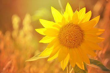 Sonnenblume im Sonnenlicht van zwergl 0611