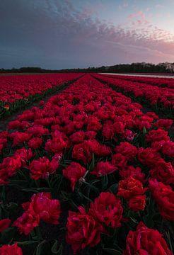 bloeiende rode tulpen van Marcel Hof