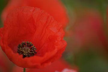 Macro d'une fleur de pavot dans un champ