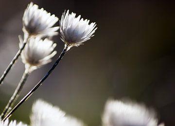 Weiße Blumen III #pantheraafrica von Minie Drost
