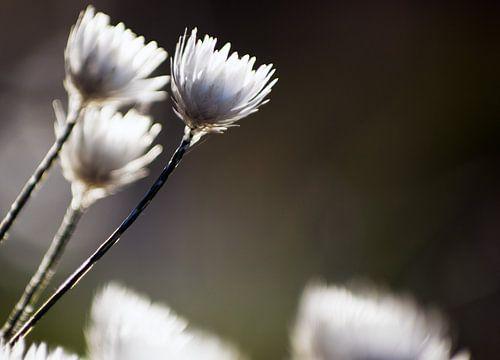 Witte bloemen III #pantheraafrica van Minie Drost