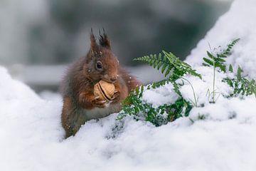 Eichhörnchen mit einer Walnuss im Schnee. von Albert Beukhof