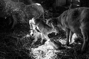 Lammetje springt door stal van Danai Kox Kanters