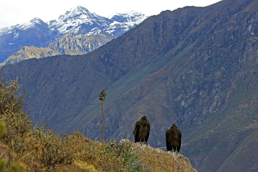 Andes condor van Antwan Janssen
