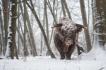 schotse hooglander in de winter sneeuw. contrast