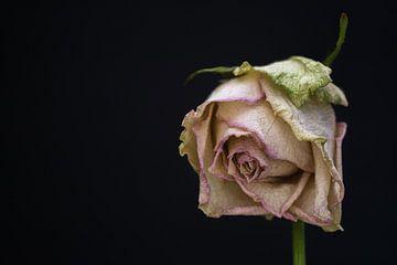 Uitgebloeide witte Roos van Anco van der Kolk
