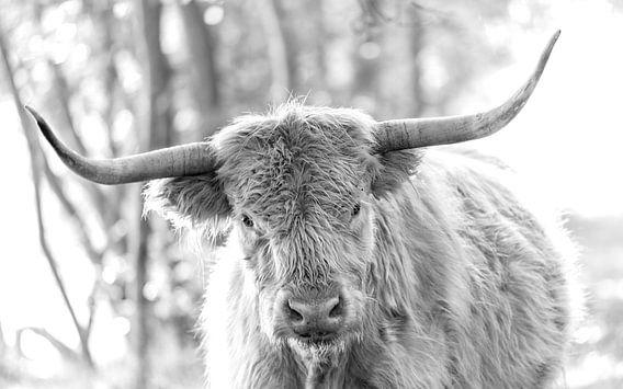 Schotse Hooglander zwartwit portret I