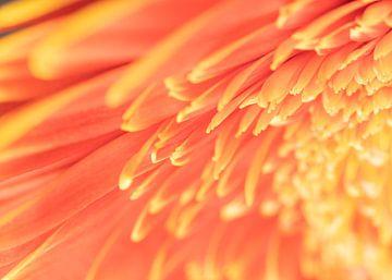 Gerbera Blume Makro von Van Keppel Studios
