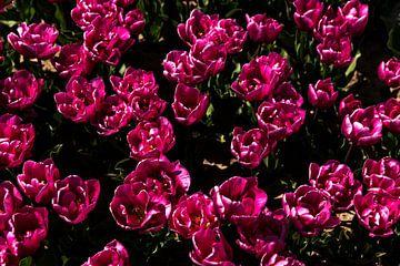 Close-up van een tulpenveld in bloei 2