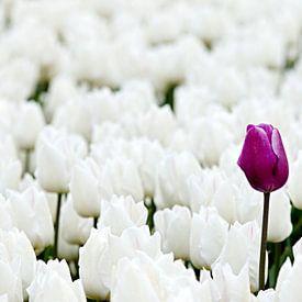 Paarse tulp tussen witte tulpen van W J Kok