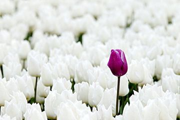 Paarse tulp tussen witte tulpen von W J Kok