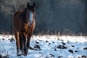 Veluwe, planken wambuis-wild paard 02  von Cilia Brandts