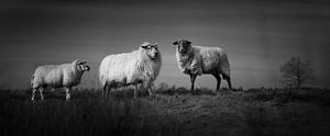 Three sheep in the heather