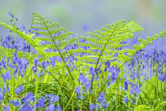 Wilde hyacinten bloeien in een beukenbos tijdens een de lenteochtend