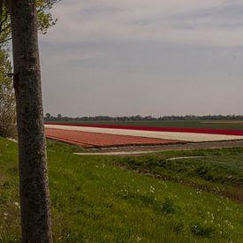 Bloembollenveld achter dijk van Rinke Velds