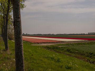 Bloembollenveld achter dijk von Rinke Velds