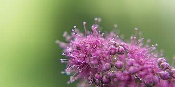 Blume XI van