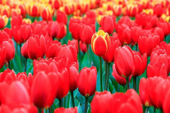Rode tulpen van Dennis van de Water