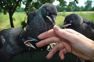 3 Crows sur