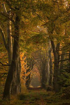 Wandelen door een herfstige beukenlaan van Marjon Meinders