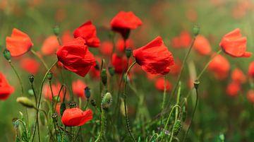 Roter Mohn von Anouschka Hendriks