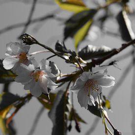 The dark side of the Prunus sur Amber van den Broek