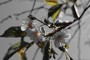 The dark side of the Prunus  van Amber van den Broek