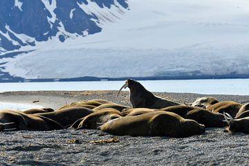Walrus on duty van Senne Koetsier