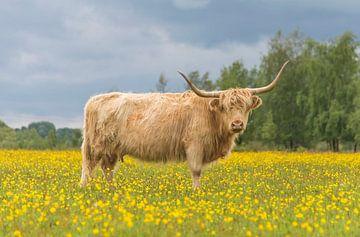 Schotse Hooglander tussen gele bloemen van Ans Bastiaanssen