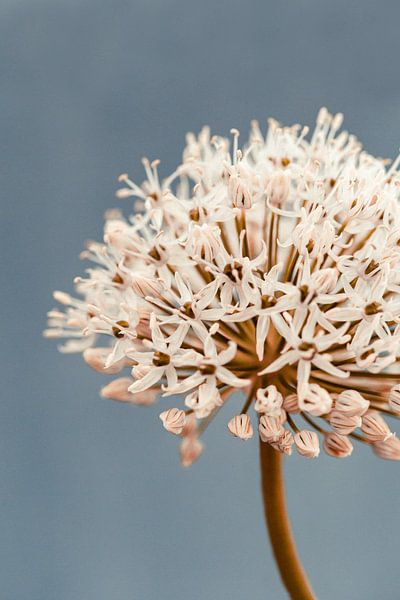 Allium soft grey van Aminda