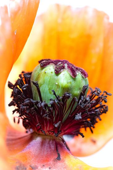 It's the heart that matters most.... (klaproos, tuin, bloem, oranje) van Bob Daalder