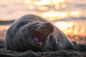 Zeehond gapend aan het strand
